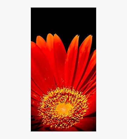 Red Gerbera Daisy - Photography Photographic Print