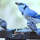 Bluejay & Friends... by Laurie Minor