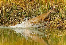 Deer Running Through Salt Water Marsh by TJ Baccari Photography