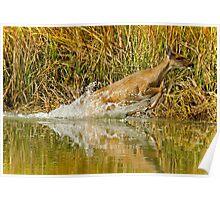 Deer Running Through Salt Water Marsh Poster
