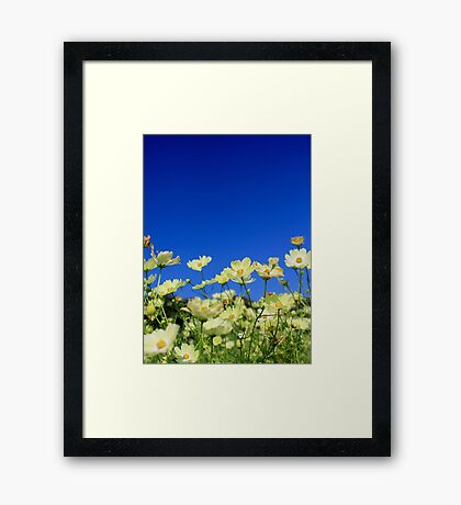 Lovely Yellow Cosmos Clear Blue Sky Flower Field Framed Print