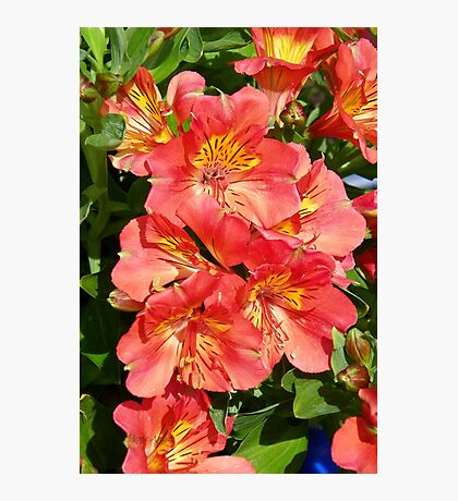 Victorian Lilies Photographic Print