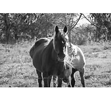 Mare and her Colt. Photographic Print