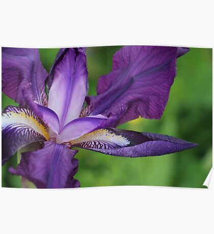 The Purple Flower Poster