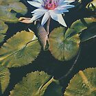 The Water Lily by Matthew Rogich