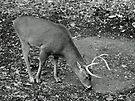 White-Tailed Deer - Buck - Odocoileus virginianus by MotherNature