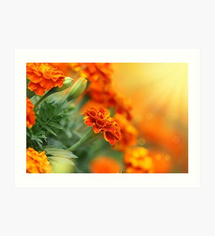 tagetes flower Art Print