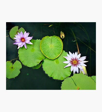 Lily Pads & Flowers - original nature photography  Photographic Print