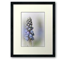 Grape Hyacinth II Framed Print