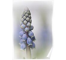 Grape Hyacinth II Poster