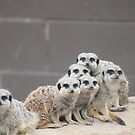 Meerkat Madness by Abigail Jennings