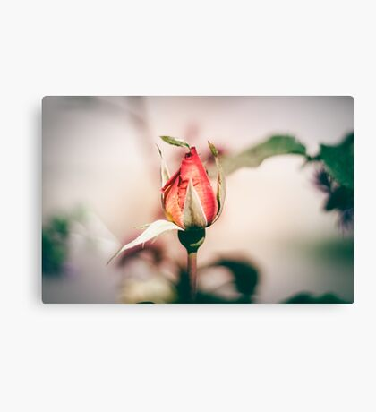 Pretty little Rose Canvas Print
