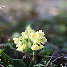 Primula veris . © Dr.Andrzej Goszcz by © Andrzej Goszcz,M.D. Ph.D