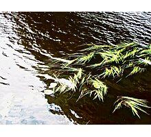Water weeds in the River Erne, Enniskillen, Northern Ireland Photographic Print