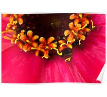 Flowers Within The Flower - Zinnia Macro  Poster