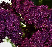Lovely Lilacs by Tracy Deptuck