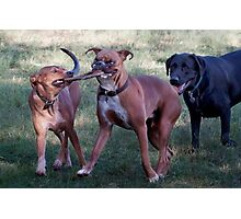 Dogs with game face on .39 Photographic Print