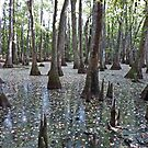 Water Tupelo/Bald Cypress Swamp - Madison County, MS by Rebel Kreklow