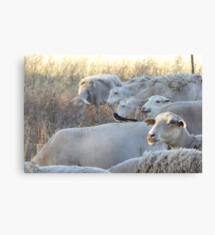 Riding on the Sheeps Back! An Australian Well Known Saying. Canvas Print