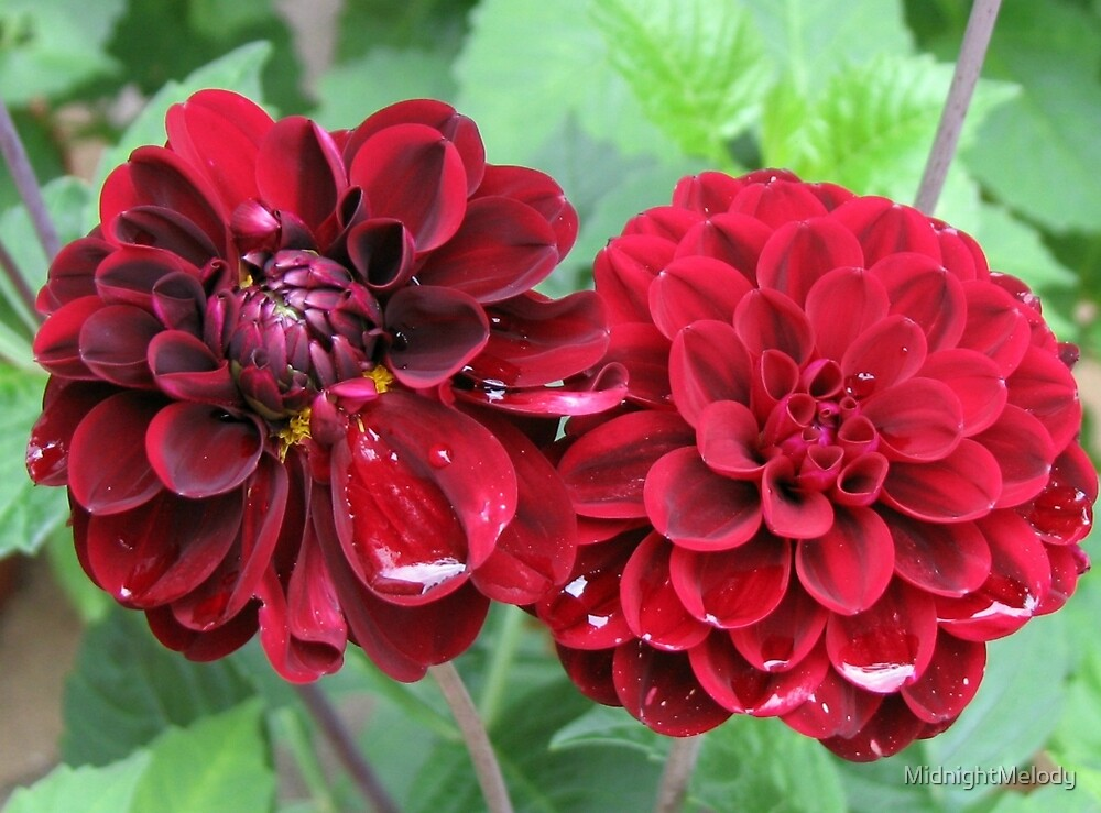 Raindrops On Dark Red Dahlias by MidnightMelody