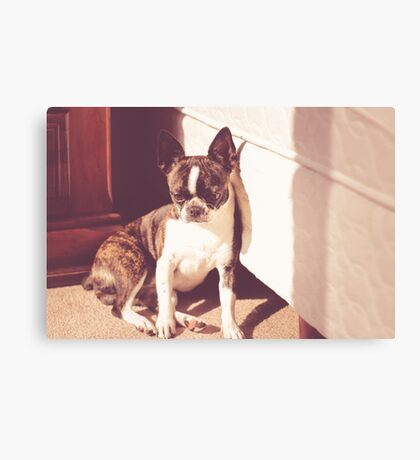 Photograph of a Boston terrier puppy dog sleeping Canvas Print