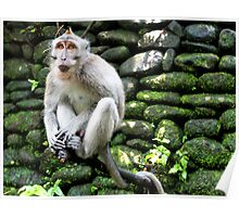 Balinese long-tailed Macaque Poster