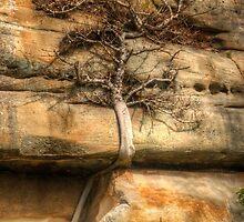 Ficus Espaleatus .. Survival on the rocks by Michael Matthews