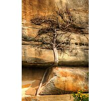Ficus Espaleatus .. Survival on the rocks Photographic Print