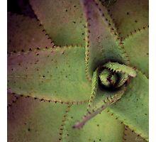 Aloe Rose Photographic Print