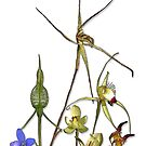 Orchids of Australia 2 Native orchids of Western Australia by Leonie Mac Lean