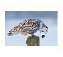 Cough it up buddy - Snowy Owl Art Print