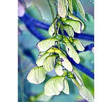 Maple seeds Photographic Print