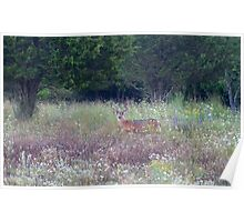 Buck in the Meadow - White tailed deer buck Poster