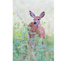 White Tailed Deer Fawn Photographic Print