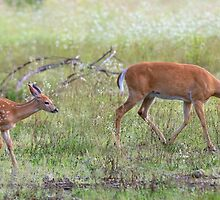 Morning Stroll - White Tailed Deer Fawn by Jim Cumming
