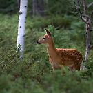 White-tailed Deer Fawn in Junipers by Jim Cumming