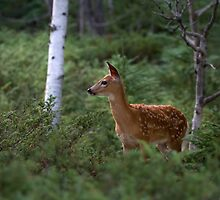 White Tailed Deer Fawn in Junipers by Jim Cumming