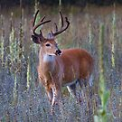 Early Morning White tailed Buck by Jim Cumming