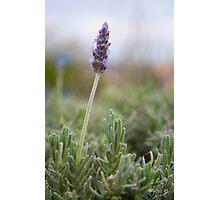 Beautiful lavender Photographic Print