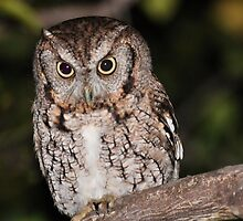 Eastern Screech Owl by Jeff Ore