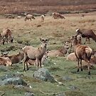 Red Deer Wild in Scotland by AnnDixon