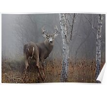 Buck - White-tailed deer Buck Poster