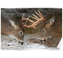 Clash of the Titans - White-tailed deer Bucks Poster