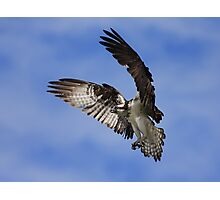 Osprey Wingspan Photographic Print