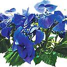 Dark Blue Hydrangea Lace Cap Hydrangea by Susan Savad