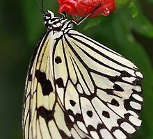 Malabar Tree-Nymph Butterfly on Red Flower by Maria Gaellman