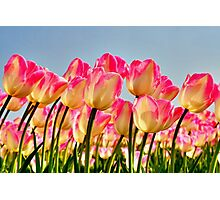 Pink Tulips Bow For The Sun Photographic Print