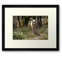 Hudson Bay Wolf Framed Print