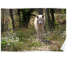 Hudson Bay Wolf Poster