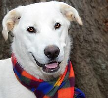 Bell Of The Ball  White Shepard Mix  by Peggy Franz Animal and Rescue Photography